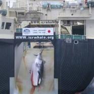 La « chasse scientifique » japonaise s'appelle de son vrai nom « chasse commerciale »
