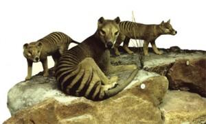 thylacine-RobinDesBois-2013