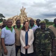 (Français) Défense d'ivoire