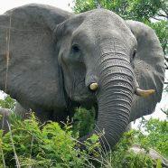 (Français) Prenez la défense des éléphants !
