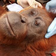 (Français) Vous aussi, venez au secours des orangs-outans