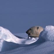 Le commerce international des ours polaires continue