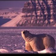 Les ours polaires trahis par l'Union Européenne