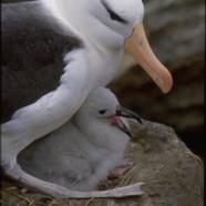Aujourd'hui quand vous mangez du thon, vous tuez un albatros