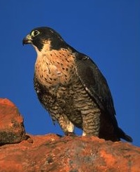 faucon-pelerin-2013-robin desbois