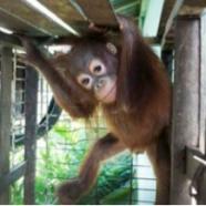 (Français) Une tartine d'orang-outan