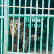 Covid-19 : un léopard se confine dans un ex-tanker français