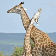 Girafes : la CITES prend de la hauteur