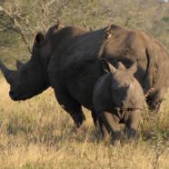 Condamnation de l'internationale des fossoyeurs d'éléphants et de rhinocéros